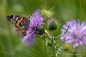 Painted Lady Butterfly - Caffarella - The Hall of Einar - photograph (c) David Bailey (not the)