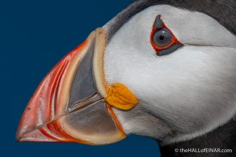 Monday's Puffin - The Hall of Einar - photograph (c) David Bailey (not the)