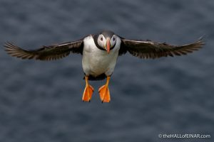Tuesday's Puffin - The Hall of Einar - photograph (c) David Bailey (not the)