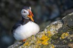 Friday's Puffin - The Hall of Einar - photograph (c) David Bailey (not the)