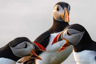 Saturday's Puffin - The Hall of Einar - photograph (c) David Bailey (not the)