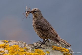 Rock Pipit - The Hall of Einar - photograph (c) David Bailey (not the)