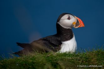 Puffin - The Hall fo Einar - photograph (c) David Bailey (not the)