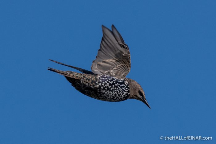 Starling - The Hall of Einar - photograph (c) David Bailey (not the)