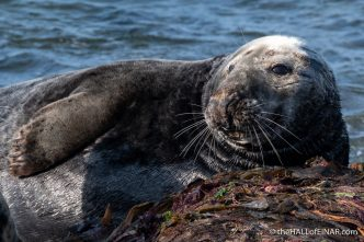 Grey Seal - The Hall of Einar - photograph (c) David Bailey