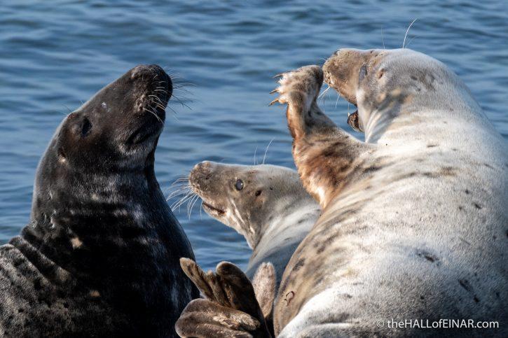 Grey Seal - The Hall of Einar - photograph (c) David Bailey