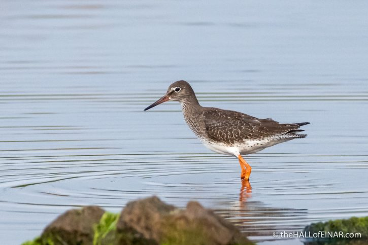 Redshank at the Peedie Sea - The Hall of Einar - photograph (c) David Bailey (not the)