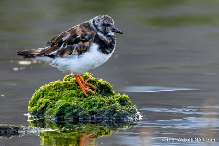 Turnstone at the Peedie Sea - The Hall of Einar - photograph (c) David Bailey (not the)