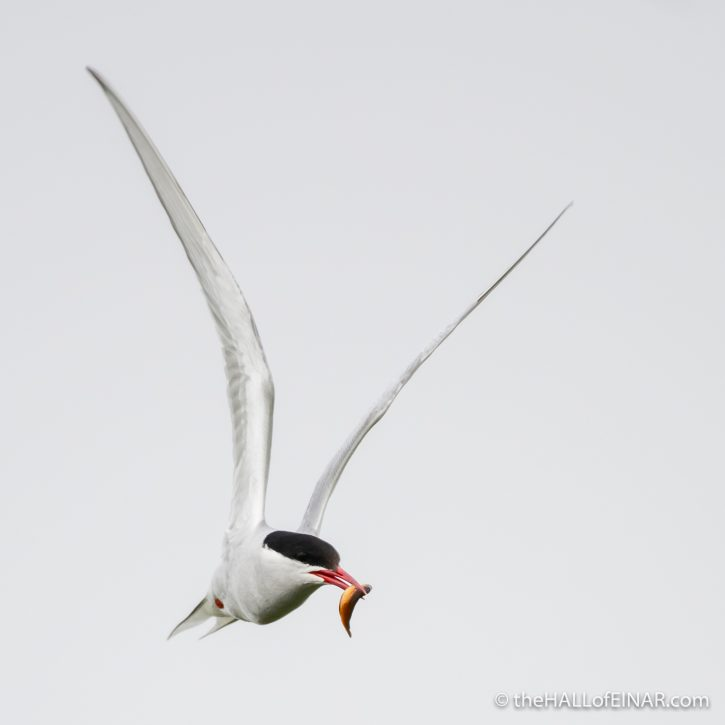 Arctic Tern - The Hall of Einar - photograph (c) David Bailey (not the)