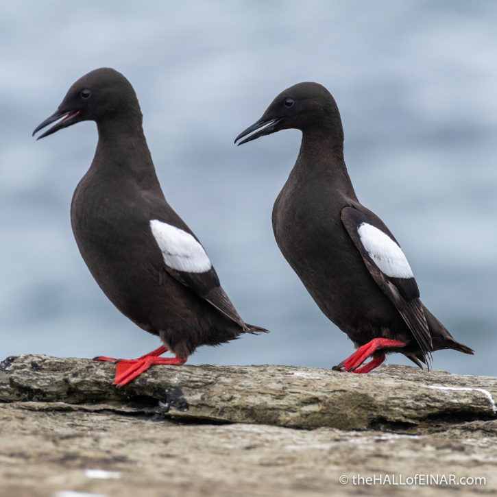 Black Guillemots - The Hall of Einar - photograph (c) David Bailey (not the)