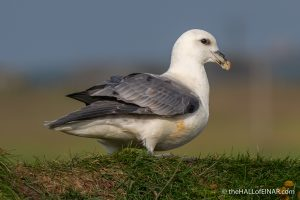 Fulmars - The Hall of Einar - photograph (c) David Bailey (not the)