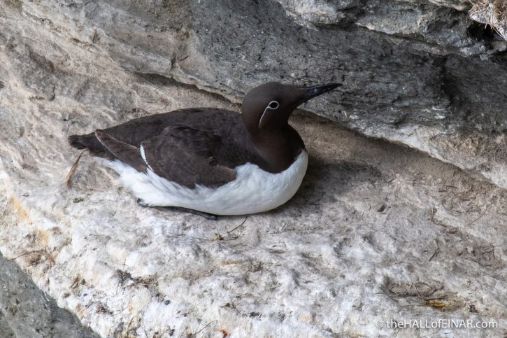 Bridled Guillemot - The Hall of Einar - photograph (c) David Bailey (not the)