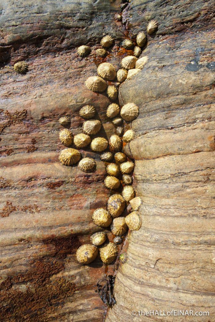 Limpets - Westray coast - The Hall of Einar - photograph (c) David Bailey (not the)