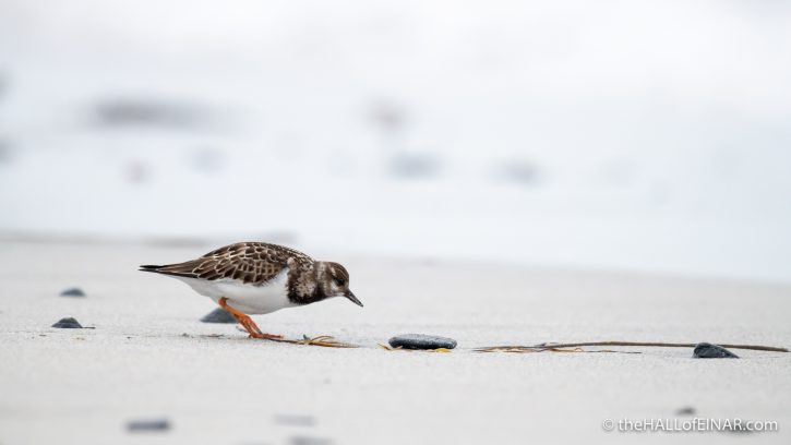 Turnstone - The Hall of Einar - photograph (c) David Bailey