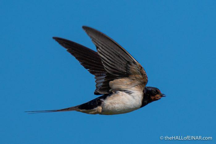 Swallow - The Hall of Einar - photograph (c) David Bailey