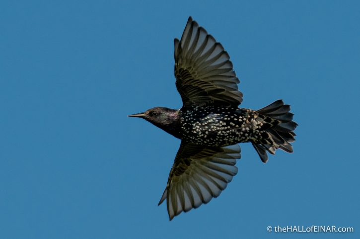 Starling - The Hall of Einar - photograph (c) David Bailey