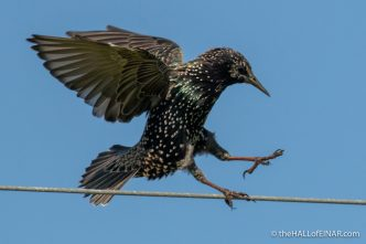 Starlings - The Hall of Einar - photograph (c) David Bailey