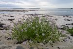 Sea Rocket - The Hall of Einar - photograph (c) David Bailey