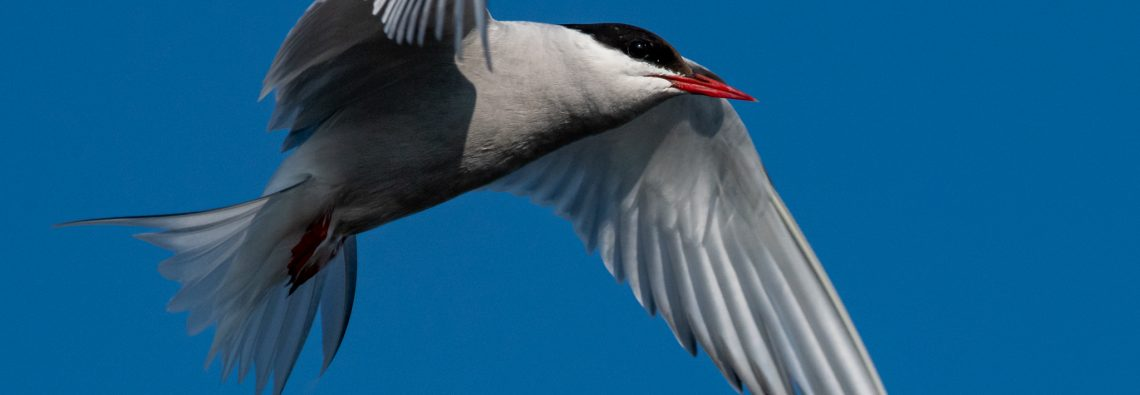 Arctic Tern - The Hall of Einar - photograph (c) David Bailey