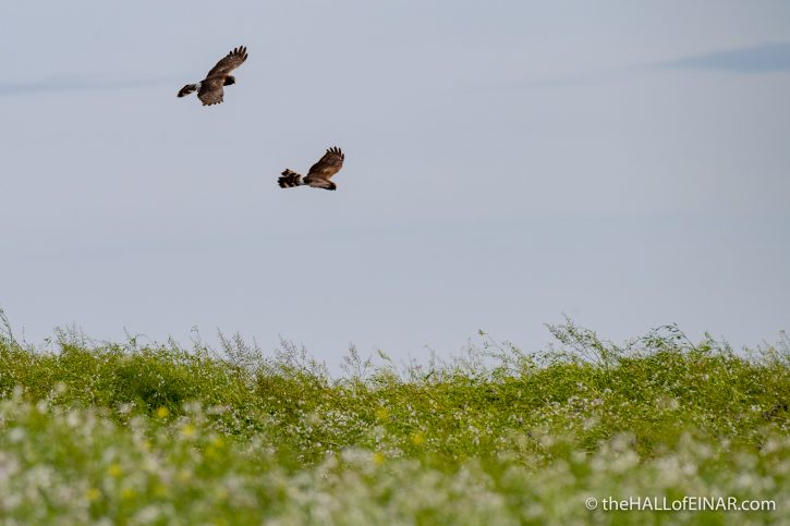 Hen Harriers - The Hall of Einar - photograph (c) David Bailey