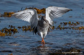 Redshank - The Hall of Einar - photograph (c) David Bailey