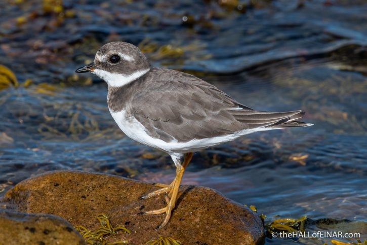 Ringed Plover - The Hall of Einar - photograph (c) David Bailey