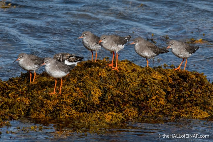 Redshanks - The Hall of Einar - photograph (c) David Bailey