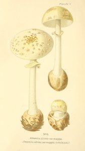 Amanita citrinum - The Hall of Einar