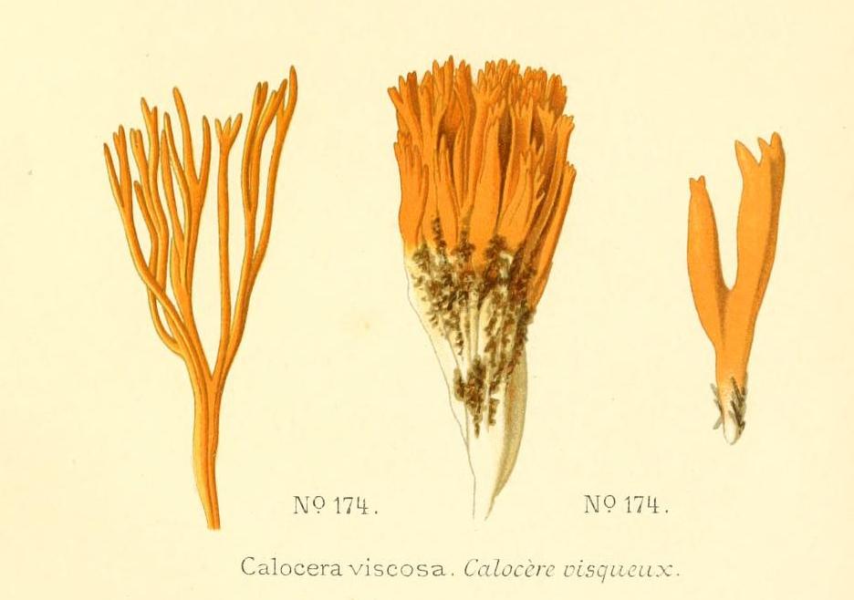 Calocera viscosa - The Hall of Einar - Atlas des champignons comestibles et vénéneux