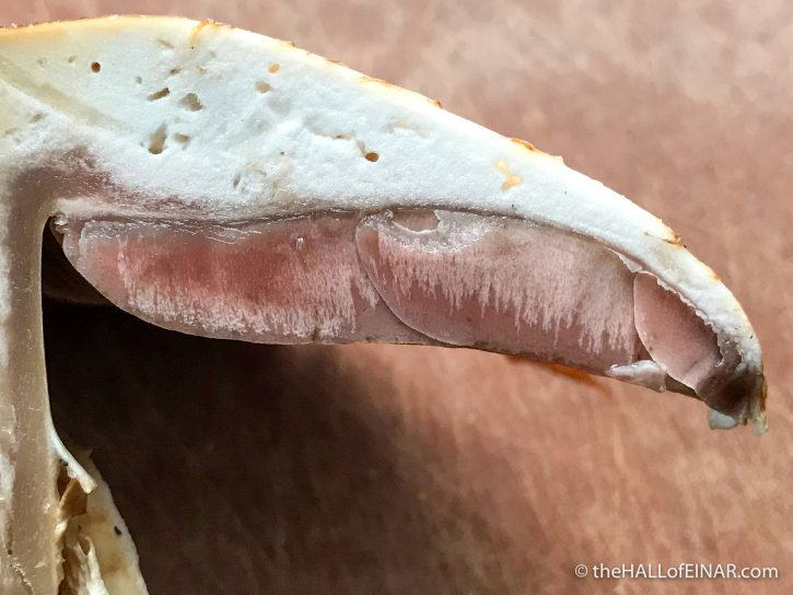 Agaricus subperonatus - The Hall of Einar - photograph (c) David Bailey (not the)