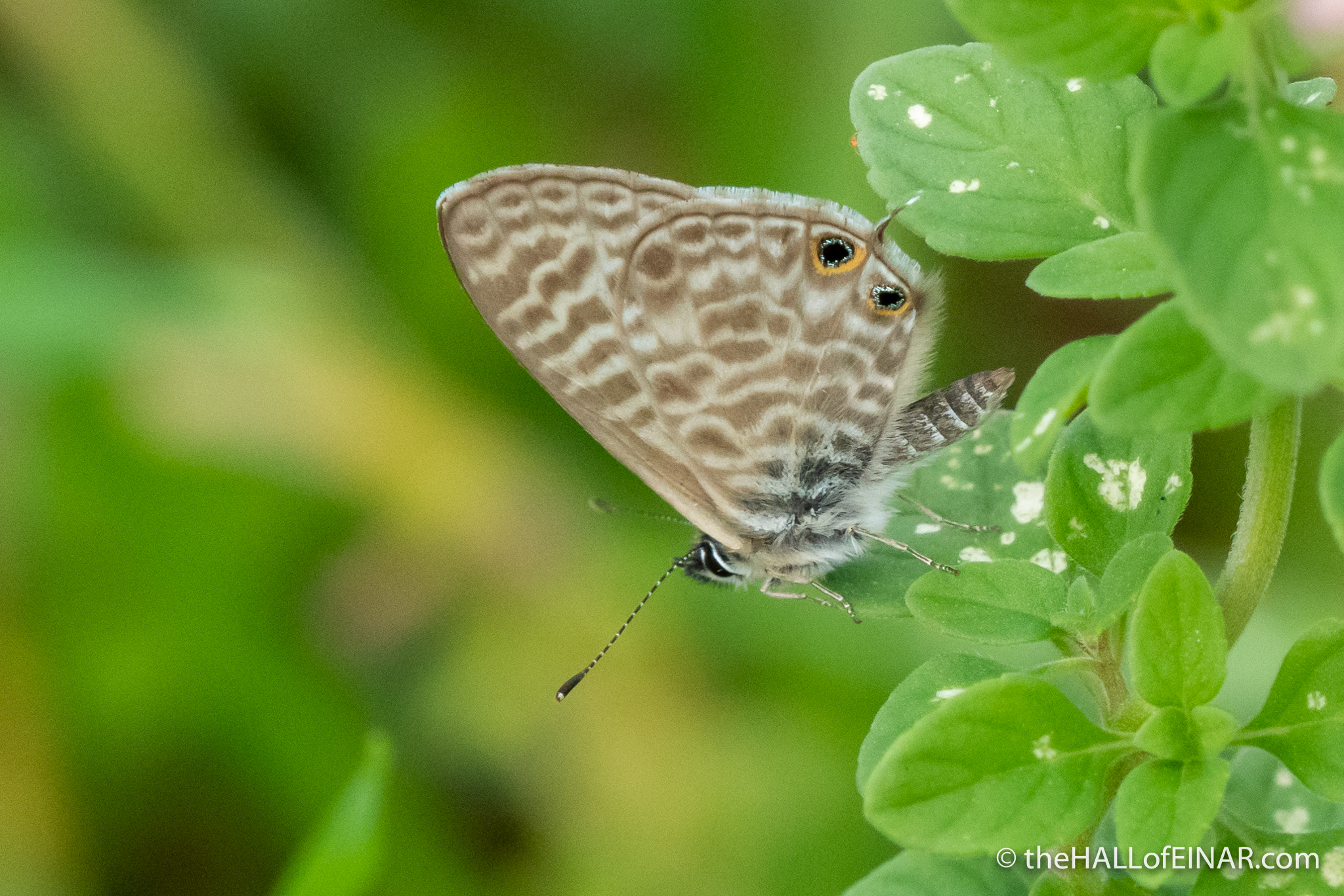 Lang's short-tailed blue, Leptotes pirithous - The Hall of Einar - photograph (c) David Bailey (not the)