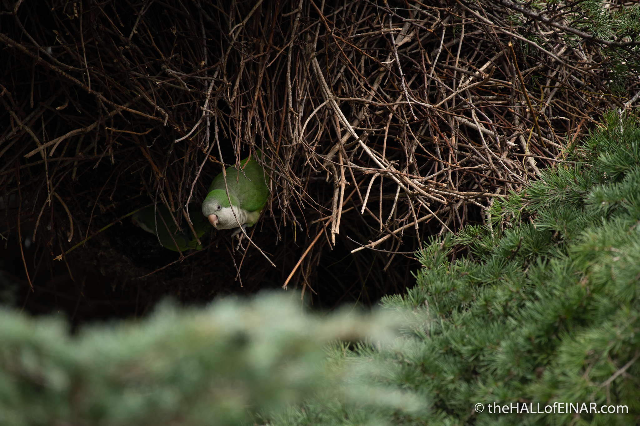 Monk Parakeet - Caffarella - The Hall of Einar - photograph (c) David Bailey (not the)