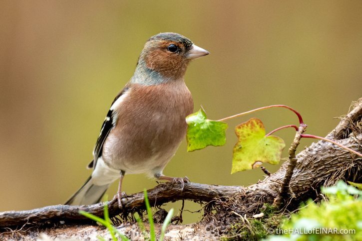 Chaffinch - The Hall of Einar - photograph (c) David Bailey (not the)