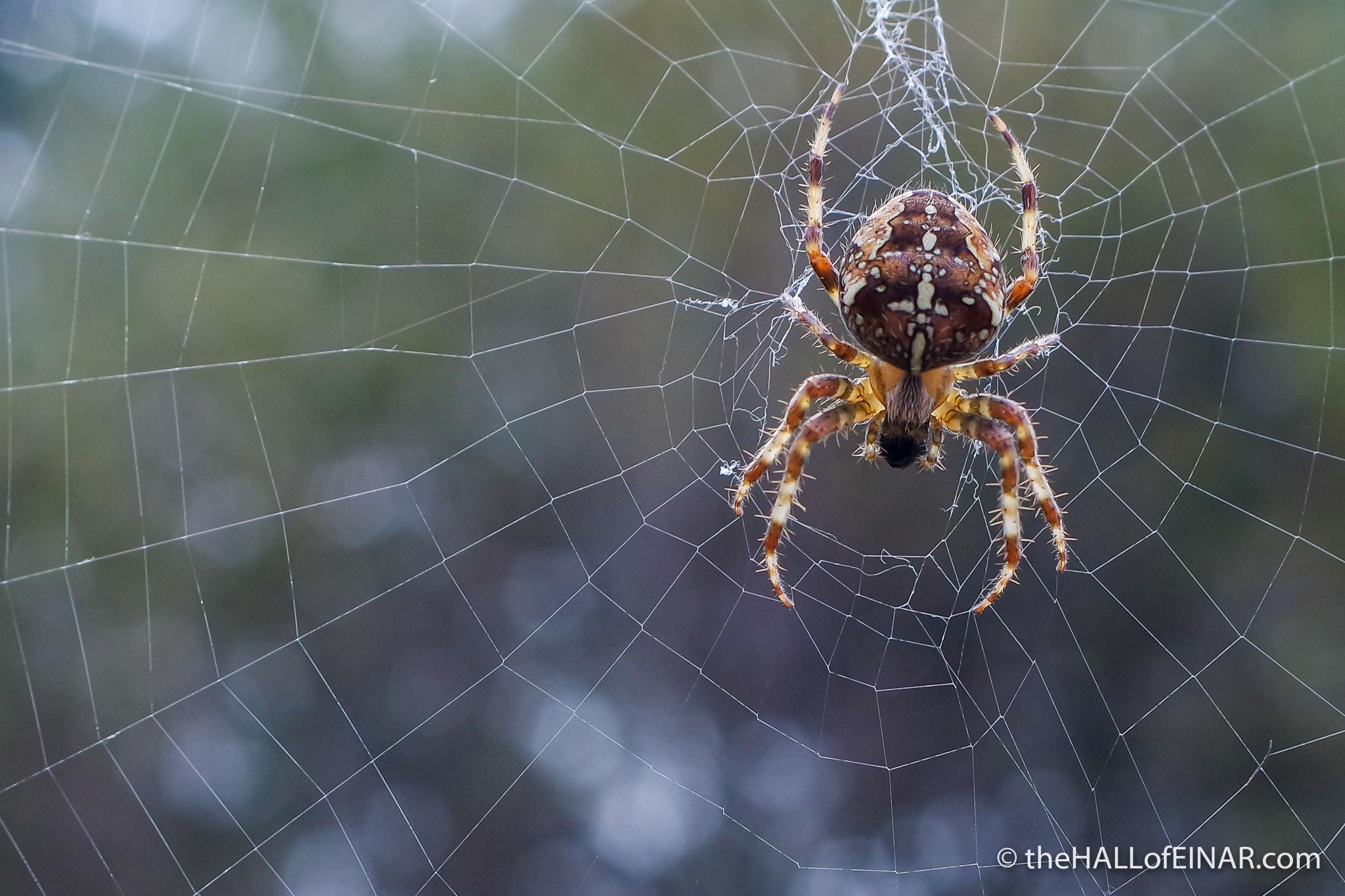 Diadem Spider - Bovey Heath - The Hall of Einar - photograph (c) David Bailey (not the)