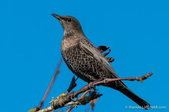 Ring Ouzel - Emsworthy Mire - The Hall of Einar - photograph (c) David Bailey (not the)
