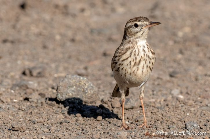 Bertholet's Pipit - Gran Canaria - The Hall of Einar - photograph (c) David Bailey (not the)