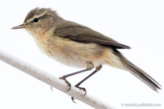 Canary Islands Chiffchaff - Gran Canaria - The Hall of Einar - photograph (c) David Bailey (not the)