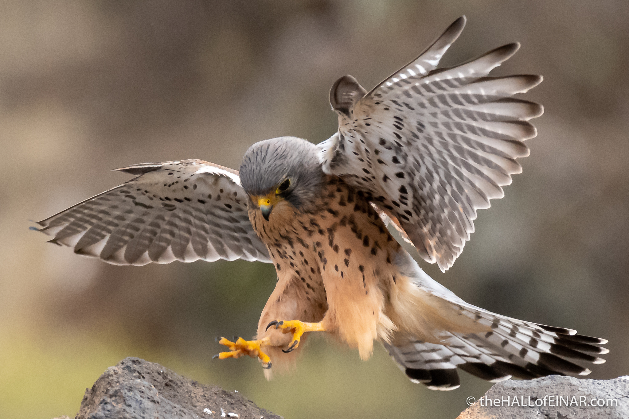 Canary Islands Kestrel - Gran Canaria - The Hall of Einar - photograph (c) David Bailey (not the)