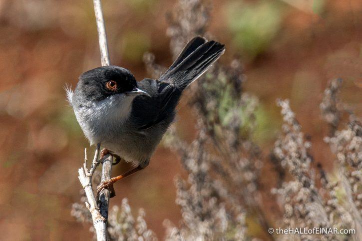 Sardinian Warbler - Gran Canaria - The Hall of Einar - photograph (c) David Bailey (not the)