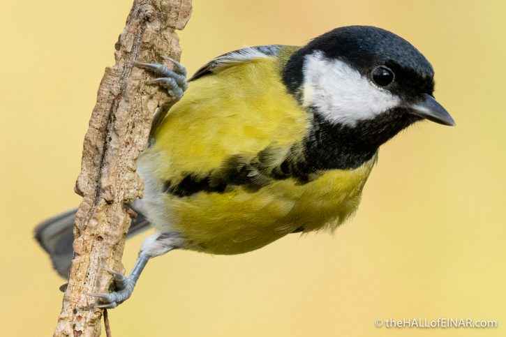 Great Tit - The Hall of Einar - photograph (c) David Bailey (not the)