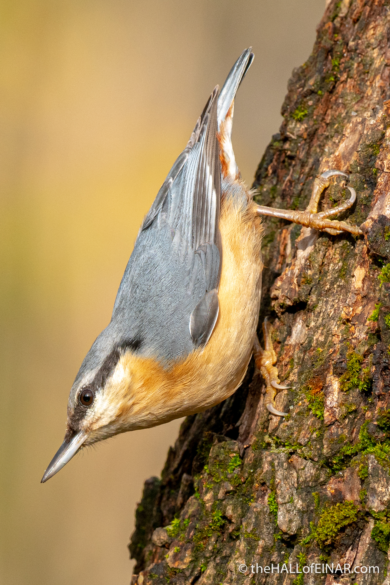 Nuthatch - Lago di Alviano - The Hall of Einar - photograph (c) David Bailey (not the)