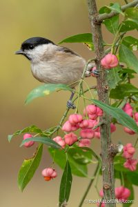 Marsh Tit - The Hall of Einar - photograph (c) David Bailey (not the)