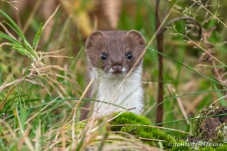 Stoat - The Hall of Einar - photograph (c) David Bailey (not the)