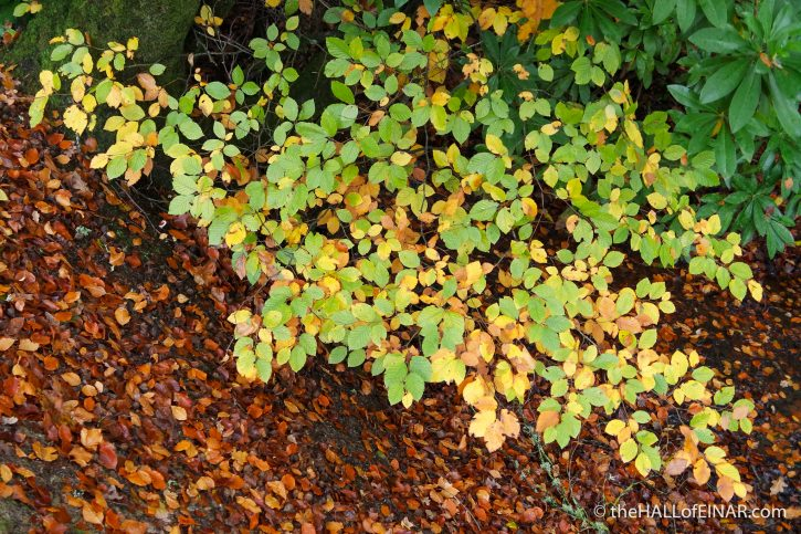 Beech leaves - The Hall of Einar - photograph (c) David Bailey (not the)
