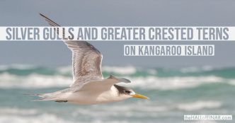 Silver Gulls and Greater Crested Terns - Kangaroo Island - The Hall of Einar