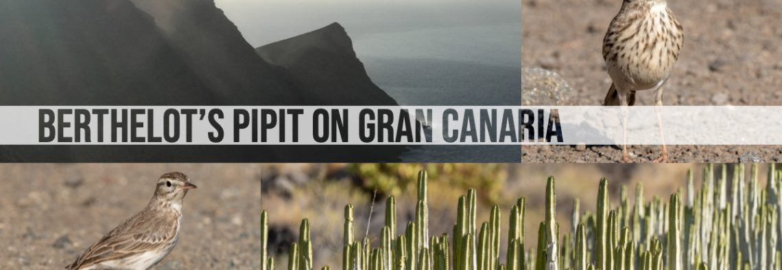 Bertholet's Pipit on Gran Canaria - The Hall of Einar