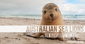 Australian Sea Lions - Kangaroo Island - The Hall of Einar