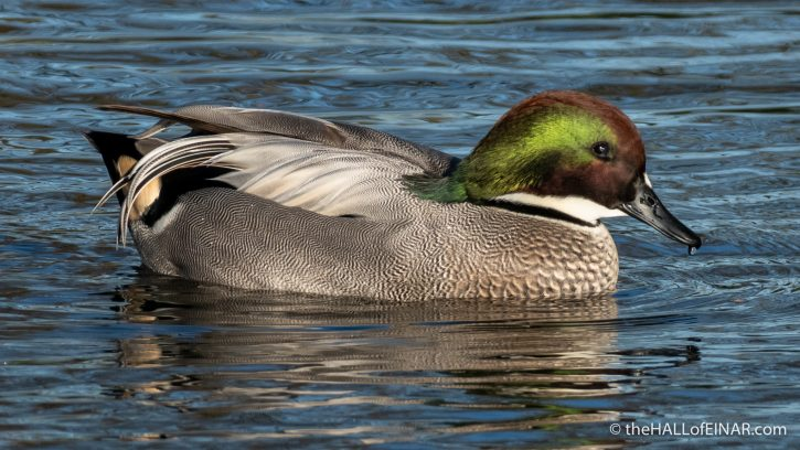 Falcated Duck - The Hall of Einar - photograph (c) David Bailey (not the)