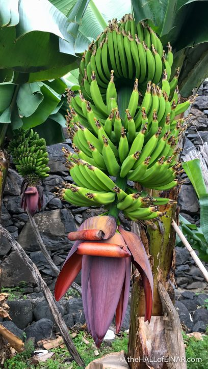 Bananas - Madeira - The Hall of Einar - photograph (c) David Bailey (not the)