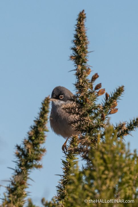 Spectacled Warbler - Madeira - The Hall of Einar - photograph (c) David Bailey (not the)